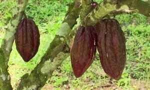 Agrônomo explica o que impede geração de frutos em cacaueiro de propriedade em GO