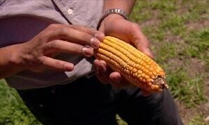 Descubra por que o milho sempre tem número par de fileira de grãos
