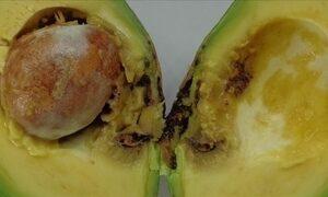 Veja como resolver o problema com a broca do fruto do abacateiro
