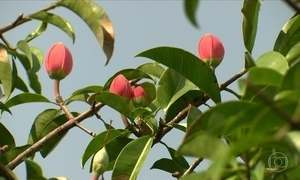 Bacurizeiro que dá flor, mas não dá fruto
