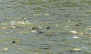 Criadores de tilápia do Paraná aumentam produção e melhoram de vida
