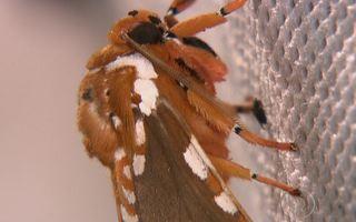 Noite revela mariposa com língua de 20 centímetros