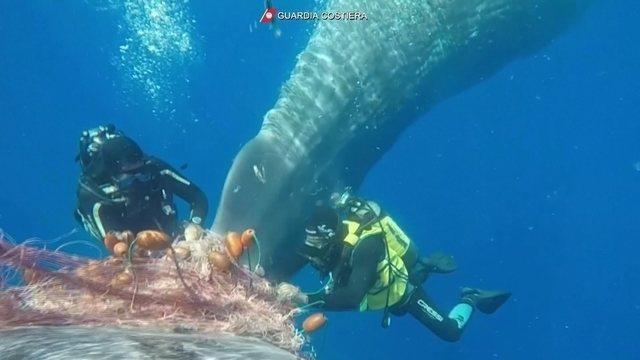 Mergulhadores libertam baleia que estava presa em rede de pesca na ...