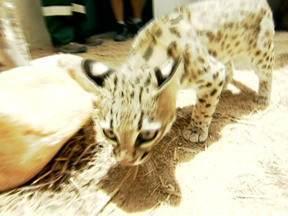 Animal típico da caatinga, gato-do-mato está em extinção - O animal se alimenta de presas vivas, pintos, carne de boi e frango e vísceras.