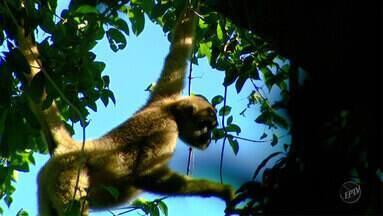Terra da Gente - Fazenda Bacury - Bloco 1 - Um oásis no interior de São Paulo, a Fazenda Bacury preserva uma fauna e flora sem igual. A reserva, que fica em Anhembi, cidade próxima a Piracicaba, abriga o muriqui do sul, o maior primata das Américas e uma das espécies mais ameaçadas do mundo.