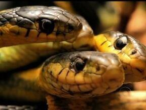 Domingão Aventura: o namoro das cobras - Milhares de cobras se amontoam sob o sol para procriação no Canadá