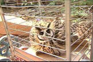 Coruja muda a rotina de uma dona de casa, em Cariacica, no ES - Polícia Ambiental vai recolher o animal.