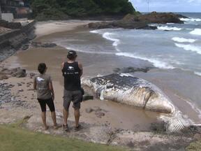 Corpo de baleia jubarte é encontrado em praia de Ondina ainda não foi retirado - Técnicos do Instituto Baleia Jubarte disseram que a baleia deve ter morrido em alto mar, de causas ainda desconhecidas.