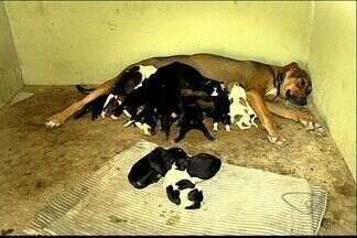Cadela dá à luz 17 filhotes em Vila Velha, no ES - odas as crias são saudáveis e sobreviveram. O veterinário Anderson Borsoi explicou que o caso de Lilica é raro.