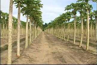 Greve dos fiscais federais agropecuários afeta exportação de mamão no Norte do ES - Clima é de preocupação em Linhares e Sooretama.