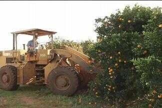 Citricultores de Itápolis, SP, arracam pés de laranja em meio à crise no setor - Produtores não conseguem vender as frutas e muitos decidiram reduzir ou acabar com pomares