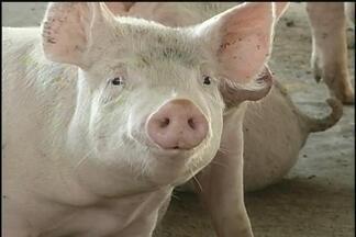 Suinocultores esperam que medidas anunciadas pelo governo ajudem o setor a sair da crise - A criação de suínos passa por uma das maiores crises. Os custos da ração e a queda no consumo e nas exportações prejudicam a atividade