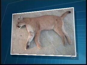 Onça morta é encontrada na região do Parque de Vila Velha - Animal possivelmente foi atropelado na rodovia BR-376