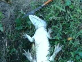 Jacaré de cerca de 1,70 metro é encontrado em Deodoro - O animal estava preso numa armadilha feita com arame e pedaços de madeira e foi resgatado por bombeiros do quartel de Guadalupe. Eles puxaram o jacaré para a margem do rio, cortaram os arames e o soltaram.