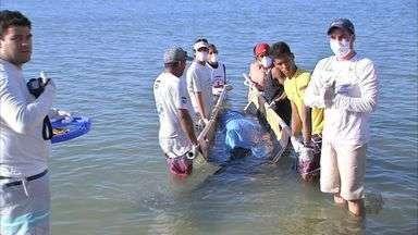 Filhote de baleia encalha no litoral de Fortaleza - Baleia foi resgatada por equipe de biólogos.