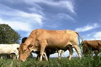 Paraná produz nova raça de gado para a pecuária de corte brasileira - A raça purunã leva sangue caracu, aberdeen angun, charolês e canchim. Nova raça foi desenvolvida por pesquisadores do Instituo Agronômico do Paraná (Iapar)