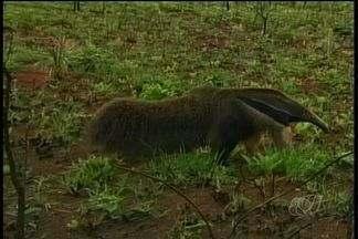 Animais enfrentam dificuldades para sobreviver no Parque Nacional das Emas, em GO - Eles estão na mira de caçadores. A denúncia é de que até policiais militares estariam envolvidos nos crimes ambientais.