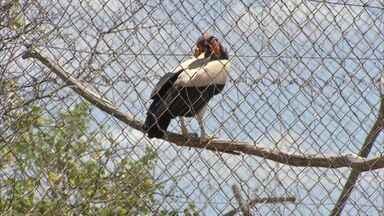 Sítio trabalha na preservação do Urubu Rei - Ave é a mais colorida da sua espécie.
