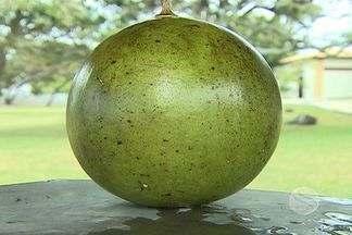 Fruto é motivo de curiosidade em São Cristóvão - Engenheiro agrônomo identifica o fruto e explica detalhes sobre ele.