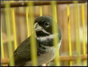 Homem de 62 anos é preso com 39 pássaros silvestres - A polícia chegou até o homem depois de uma denúncia anônima.