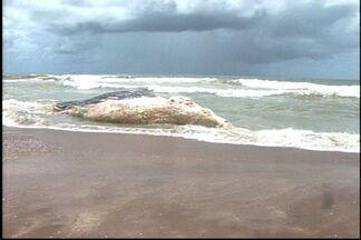 Duas baleias são encontradas em decomposição na praia de Guriri, no ES - Segundo o Instituto Orca, 16 baleias mortas já foram encontradas no litoral capixaba este ano.