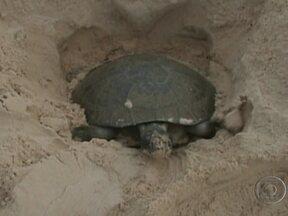 Imagens raras mostram a desova das tartarugas na Amazônia - Estamos no período da desova das tartarugas. Um ritual que se repete há milhares de anos, mas que estava seriamente ameaçado.