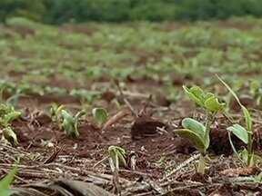 Escassez de chuva faz agricultores de Goiás replantarem lavouras de soja - Pouco volume de chuvas em outubro prejudicou o crescimento das plantas em algumas regiões. Muitos estão refazendo o plantio para não ter mais prejuízos com a safra. Outra preocupação é o atraso na cultura do milho safrinha em 2013.