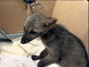 Filhote de lobo guará encontrado na região de Curitiba - Um filhote de lobo guará de mais ou menos dois meses, foi encontrado agora de manhã em uma estrada na região metropolitana de Curitiba.