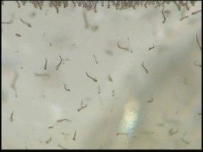 Araçatuba e Catanduva seguem em alerta por índice alto de casos de dengue - Duas cidades da região estão em alerta por causa da dengue. Araçatuba e Catanduva apresentam índice alto de infestação do mosquito transmissor. A preocupação aumenta neste período, quando o número de casos da doença costuma aumentar.