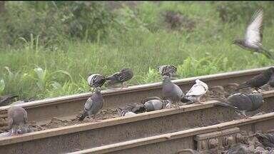 Guarujá tem quase um pombo para cada morador - Médico explica que pombos podem transmitir doenças de pele e até meningite.