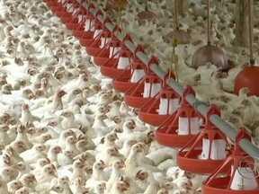 Milhares de frangos estão morrendo de fome em Mandirituba (PR) - Milhares de frangos estão morrendo de fome em Mandirituba, no Paraná. A criação de aves é a principal atividade do município. São mais de 200 granjas e a maioria está ameaçada pela crise financeira do frigorífico Diplomata.