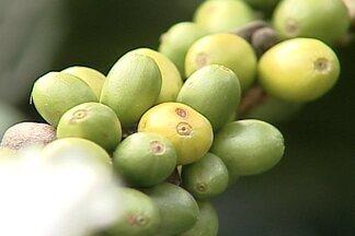 Café plantado em ano bissexto só produzir a cada quatro anos é mito - Muitos agricultores acreditam nessa lenda, que não tem fundamento científico nenhum. Ano bissexto é apenas um ajuste do calendário ao ano solar.