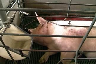 Sobrepeso na criação de porcas pode levar à morte dos filhotes - O excesso de peso nas fêmeas dificulta o trabalho de parto. É preciso ajustar a quantidade de alimento ingerida pelas porcas para evitar problemas futuros.