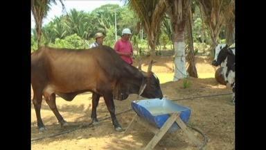 Novas tecnologias revolucionam vida de produtores rurais em Autazes, no Amazonas - Nova cultura de pecuária leiteira baseada na alta produtividade e aproveitamento do solo sem desmatamento está revolucionando a vida de produtores rurais no município de Autazes, no interior do Amazonas.