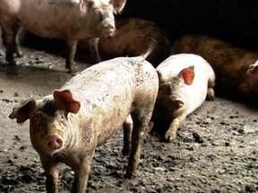 Alta do milho e da soja afetou mercado das carnes em 2012 - Criadores de suínos pediram socorro em Brasília. Custo da ração desestabilizou mercado das aves.
