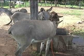 Campanha ostensiva para recolher animais soltos nas ruas está sendo realizada em Codó* - Valor da multa para reaver os animais apreendidos foi reajustado.