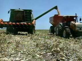 Começa a colheita do milho no Rio Grande do Sul - Quem apostou nas variedades mais precoces se deu bem. A produtividade das lavouras superou a expectativa. Com o preço em alta, o momento é de comemoração.