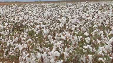Em Limoeiro do Norte, agricultores usam máquinas para colher o algodão - Alguns preferem método tradicional de colheita para manter a qualidade do produto.