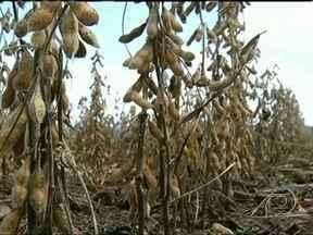 Começa a colheita da soja em Jataí (GO) - Os produtores já começaram a colheita das variedades precoces, mas as lavouras foram prejudicadas pela estiagem. O veranico reduziu quase pela metade a produção em algumas áreas. A previsão era que a produção do grão chegasse a 936 mil toneladas.