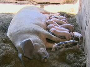 Porca pari 27 filhotes de uma só vez em Jacareí, SP - Em Jacareí, uma porca pariu 27 filhotes de uma só vez. A maior dificuldade da mãe agora é garantir alimento para tantas bocas. Esse tipo de caso acontece uma vez a cada 1 milhão de partos.