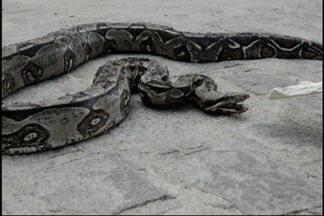JPB2JP: Duas cobras foram capturadas em João Pessoa - Uma delas tinha ferimentos.