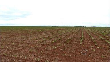 Plantio do algodão avança para 60% da área em Mato Grosso - O plantio do algodão no estado avançou bastante na última semana e já alcançou quase 60% da área prevista. O ritmo do avanço é ditado pelas condições do tempo e as chuvas têm atrapalhado um pouco.