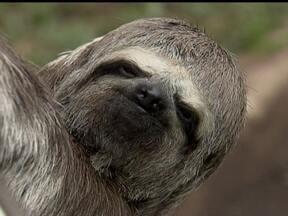Bicho-preguiça é encontrado em rua do Distrito Federal - O animal ficou agarrado na porta do carro do carro de um motorista que passava na pista que segue para o balão do aeroporto. O bicho estava próximo do zoológico, de onde ele pode ter fugido.