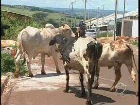 Rebanho foge e invade ruas de Maringá - Os animais circularam entre carros e usaram terrenos como pastagem.