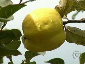 Agricultores estão colhendo a safra de marmelo em Goiás - Agricultores de Goiás estão colhendo a safra de marmelo. O cultivo da fruta é bem tradicional no estado; em algumas propriedades, começou há mais de 200 anos.
