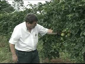 Produtores de Patrocínio, MG, contam com incentivo para voltar a plantar maracujá - Em Patrocínio, no Alto Paranaíba, produtores passam a contar com um incentivo para voltar a cultivar o maracujá. O município, que é o maior produtor de café do Brasil, segundo o IBGE, quer aumentar a área plantada da fruta.
