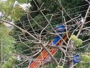 Eletrobrás faz a poda de árvores que estão entre fios elétricos - Eletrobrás faz a poda de árvores que estão entre fios elétricos