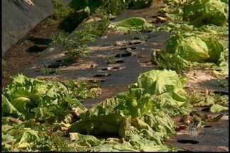 Chuva prejudica agricultores da na região do Alto Tietê - Os produtores de hortaliças estão sendo prejudicados com a chuva constante. As perdas são muitas. Mesmo como pouco rendimento da verdura, o preço do produto ainda não melhorou.