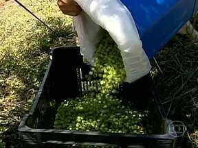 Produtores de azeitona estão otimistas com a colheita no sul de Minas Gerais - Os produtores de azeitona do sul de Minas Gerais estão otimistas com a colheita. A previsão é de uma produção bem superior à safra passada.