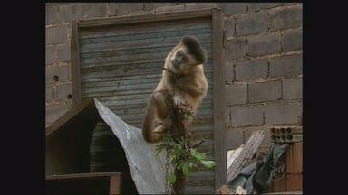 Casal de São Carlos, SP, tem macaco como bicho de estimação - Chico está com a família há mais de 30 anos.